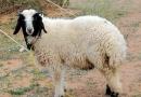 क़ुर्बानी से बचने के लिये भेड़ ने की आत्महत्या + वीडियो